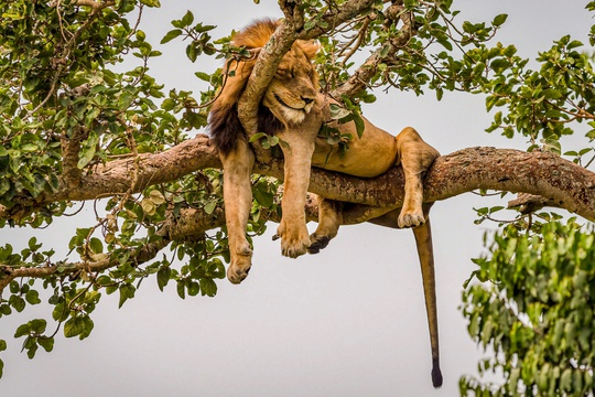 A Tree-Climbing Lion in Ishasha Queen Elizabeth National Park, Uganda