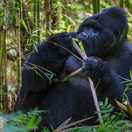 A rare mountain gorilla in Mgahinga National Park Uganda