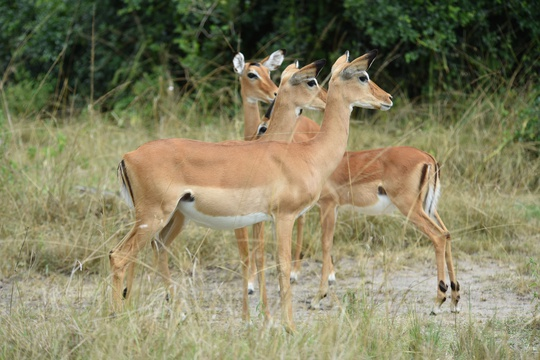 Impala on high alert in Lake Mburo National Park, Uganda