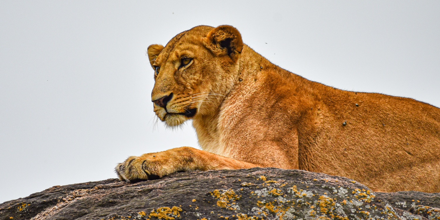 Rock Lion in Kidepo Valley NP Uganda