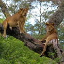 Two Tree-Climbing Lions on the Ishasha Plains of Queen Elizabeth National Park, Uganda