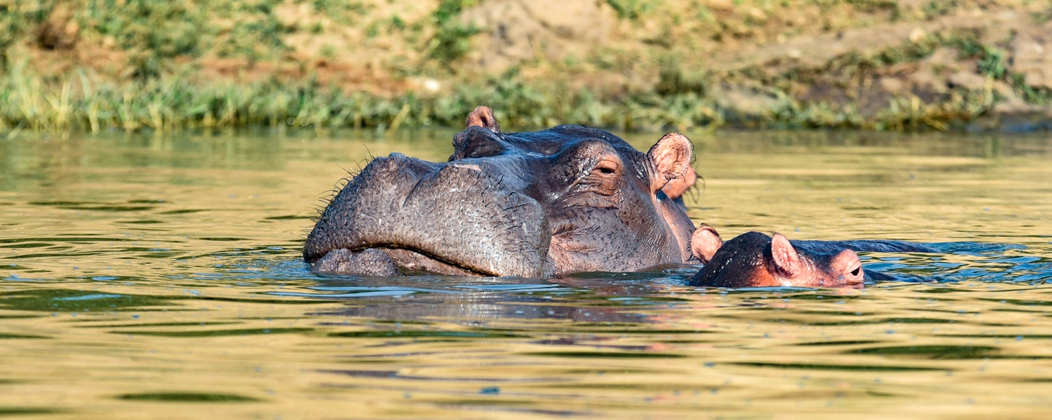 A Hippo on the Kazinga Channel in Queen Elizabeth National Park, Uganda
