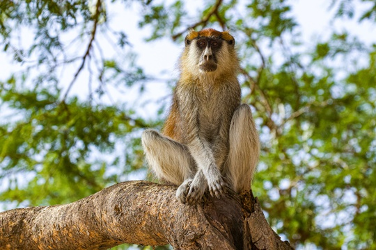 Patas monkey in a tree, Murchison Falls National Park, Uganda.
