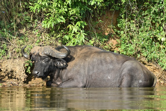 Buffalo cooling off in the waters of Lake Mburo, Uganda
