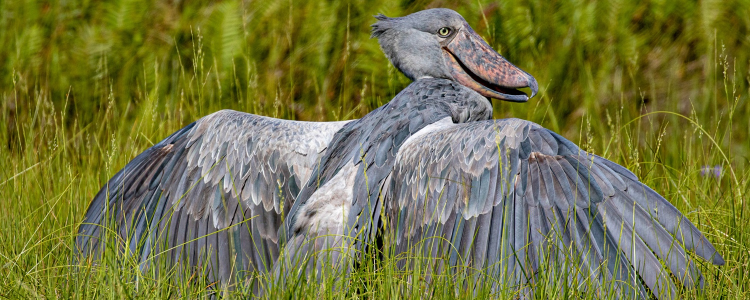 A Shoebill in the Nile Delta at Murchison Falls National Park, Uganda