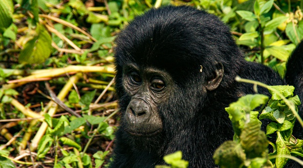 A young gorilla in Rushaga Bwindi Impenetrable NP Uganda