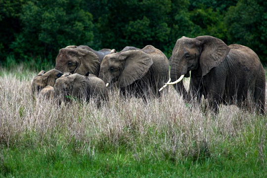 Elephants in Murchison Falls National Park, Uganda