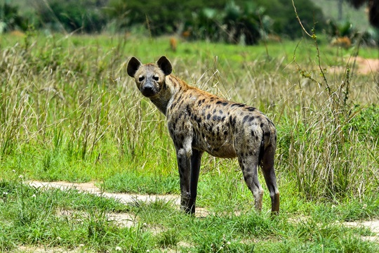 Hyaena in Murchison Falls National Park, Uganda