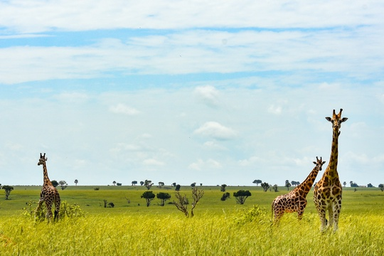 Giraffes on the Savannah of Murchison Falls National Park, Uganda
