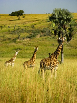 Giraffes on the look out at Murchison Falls National Park, Uganda