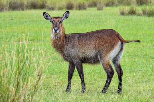 Waterbuck in the Nile Delta at Murchison Falls National Park, Uganda