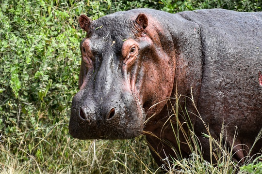 Hippo in Queen Elizabeth National Park, Uganda
