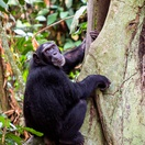 Chimpanzee at the base of a tree, Uganda