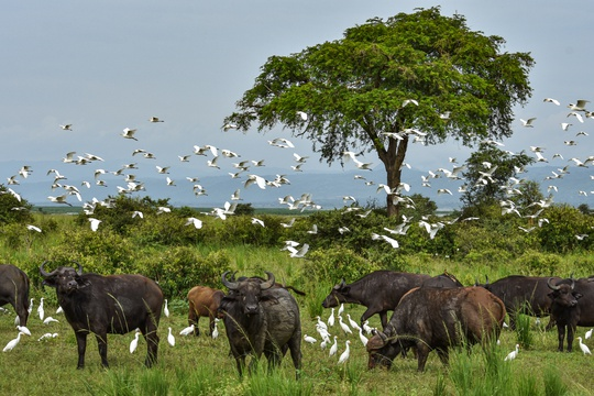 Buffalo and Egrets in Murchison Falls National Park, Uganda