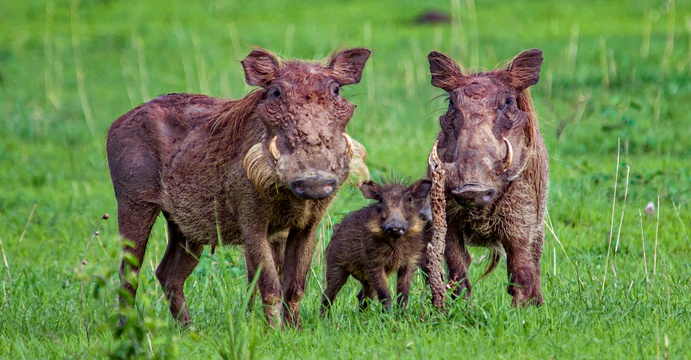 A warthog family in Murchison Falls National Park, Uganda