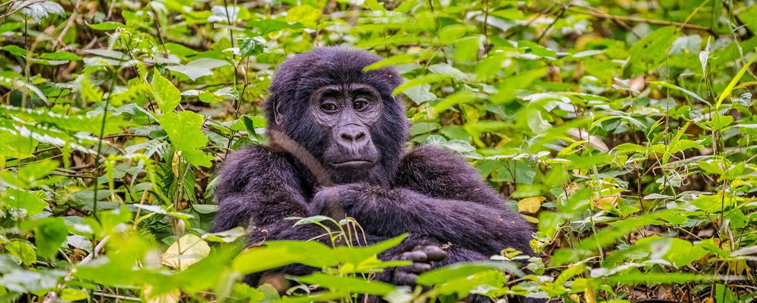 A Mountain Gorilla in Bwindi Impenetrable National Park, Uganda