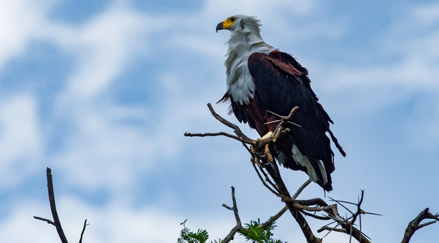 An African Fish Eagle in Queen Elizabeth National Park Uganda