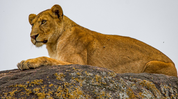 Lion on a rock in Kidepo Valley National Park, Uganda
