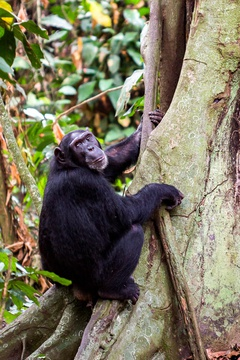 Chimpanzee in Budongo Forest, Murchison Falls National Park, Uganda