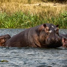 Hippos in Murchison Falls National Park, The Nile, Uganda