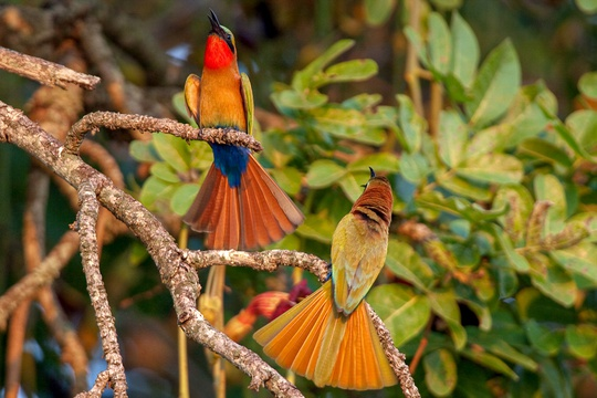 Red-throated bee-eaters on Nyamsika Cliffs in Murchison Falls National Park, The Nile, Uganda