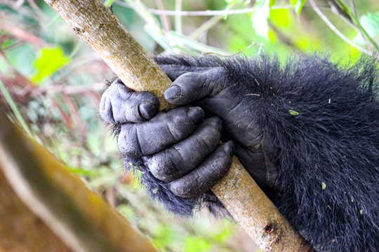 A gorilla's hand in Bwindi Impenetrable National Park, Uganda