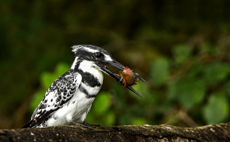 A Pied Kingfisher on the Nile in Murchison Falls National Park, Uganda