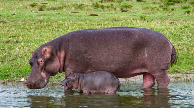 A Hippopotamus with her Calf in Queen Elizabeth National Park, Uganda