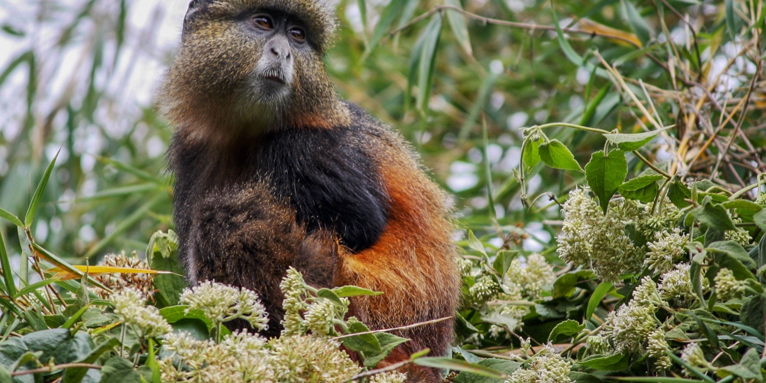 A Golden Monkey in Mgahinga Gorilla NP