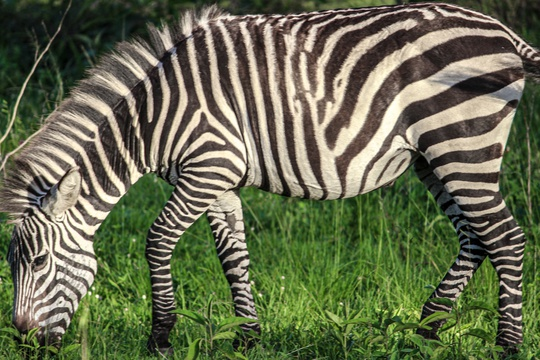 Zebra grazing on the savannah of Lake Mburo National Park, Uganda