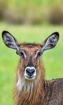 Waterbuck grazing on the savannah, Uganda