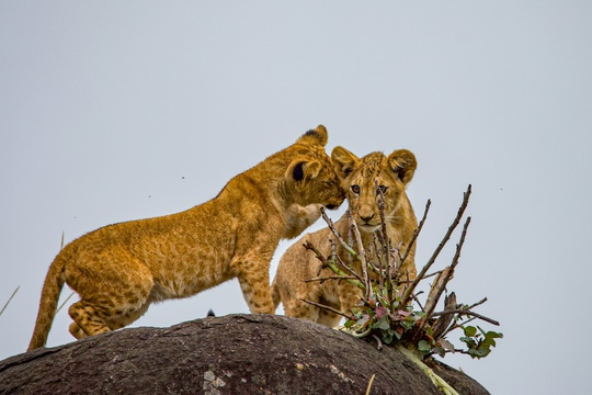 Lion cubs playing atop a rocky outcrop in Kidepo Valley National Park, Uganda.