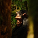 A chimpanzee in the rainforest, Uganda