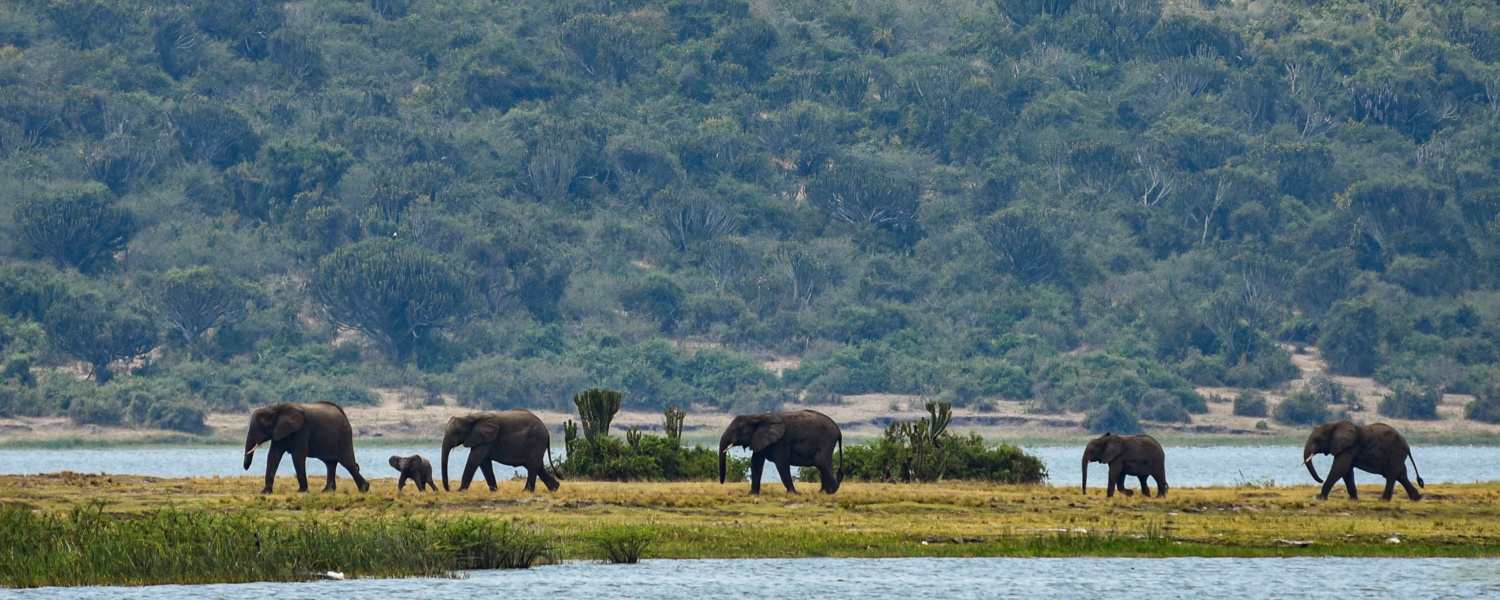 Elephants on the Kazinga Channel, Queen Elizabeth National Park, Uganda