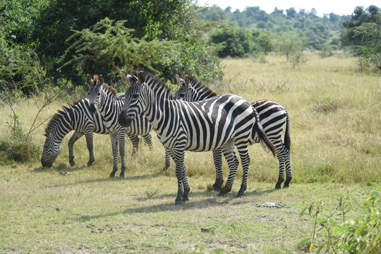 Zebras of the plains of Lake Mburo National Park, Uganda
