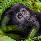 A rare mountain gorilla in Bwindi Impenetrable National Park, Uganda