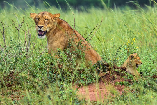 A Lioness and Cub on the Savannah of Murchison Falls National Park, Uganda