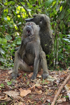 Baboon on the roadside, Uganda