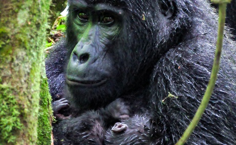 A Gorilla with her Baby in Buhoma, Bwindi Impenetrable National Park, Uganda