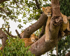 Mountain Gorillas & Lions In Trees