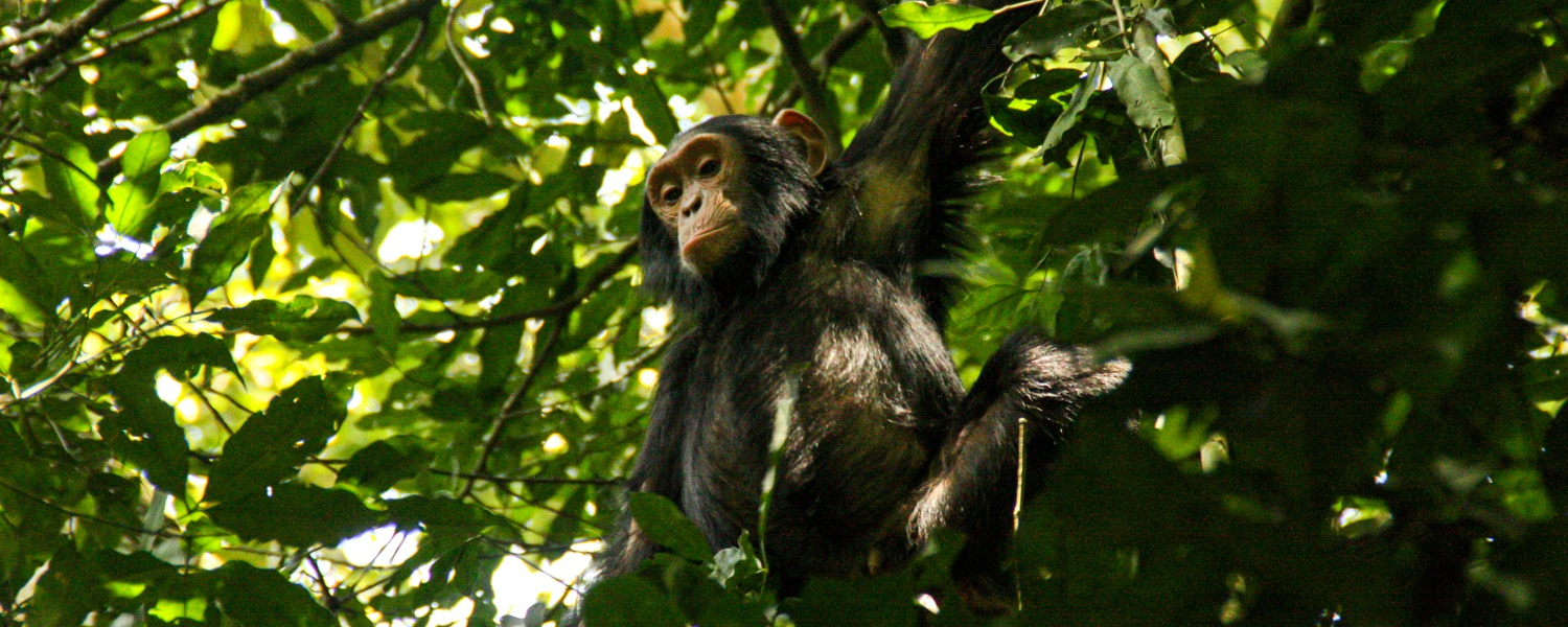 Chimpanzee in the rainforest of Kibale National Park, Uganda