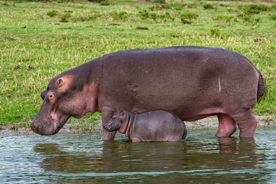 Hippo and her Cub on the Kazinga Channel in Queen Elizabeth National Park, Uganda