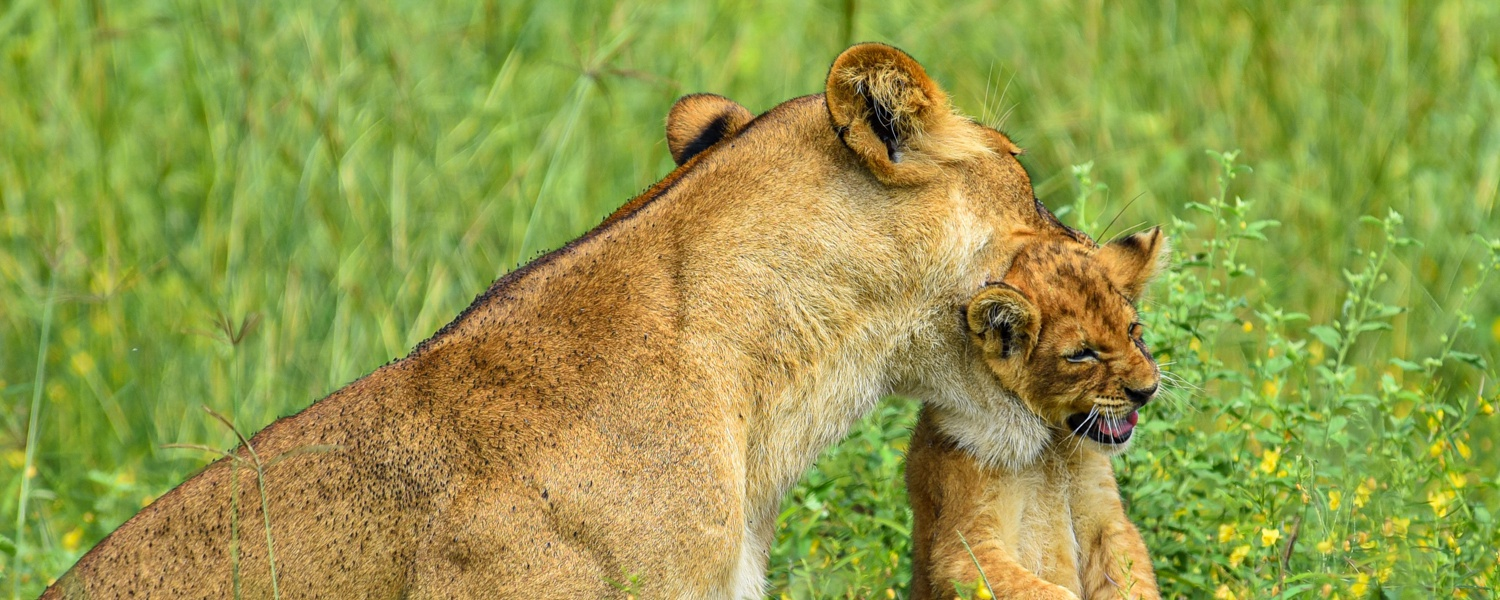 A Lioness and her Cub in Murchison Falls National Park, Uganda