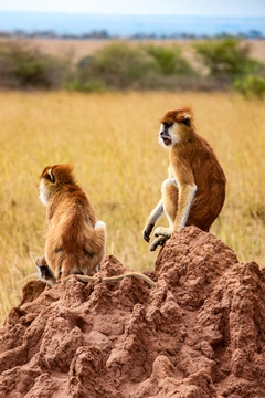 Patas monkeys looking across the savannah from a termite mound, Uganda
