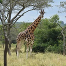 Giraffe grazing in Lake Mburo National Park, Uganda