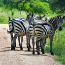 Zebras in Lake Mburo National Park, Uganda