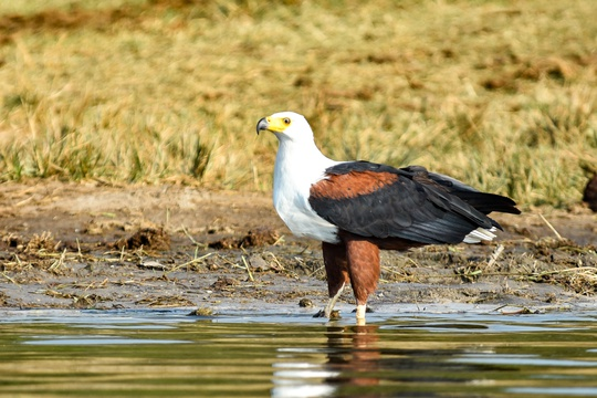 An African Fish Eagle on the Kazinga Channel in Queen Elizabeth National Park, Uganda