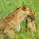 A lioness and her cub in Murchison Falls NP Uganda