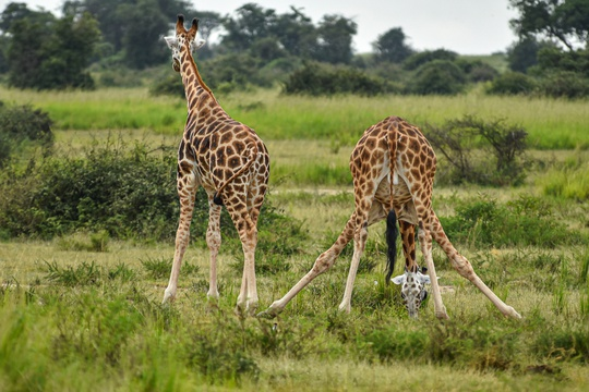 Giraffes in Murchison Falls National Park, Uganda