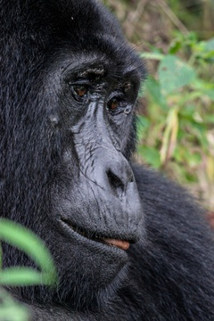 A mountain gorilla in Buhoma, Bwindi Impenetrable National Park, Uganda